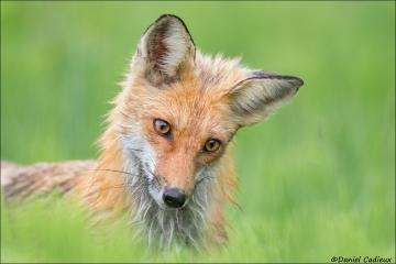 Red_Fox_0568-17
