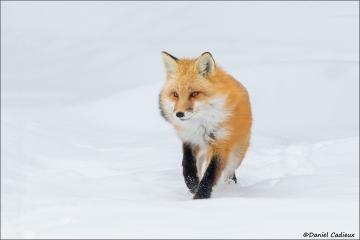 Red_Fox_1134-17
