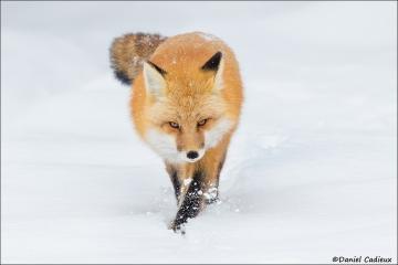 Red_Fox_1141-17