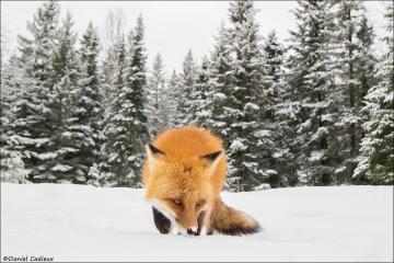 Red_Fox_1243-17