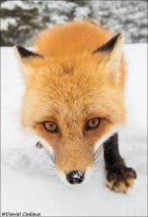 Red_Fox_1325-17