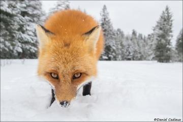 Red_Fox_1364-17