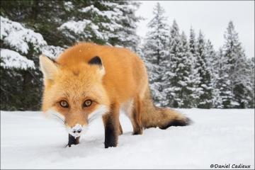 Red_Fox_1380-17