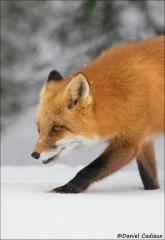 Red_Fox_1382-17