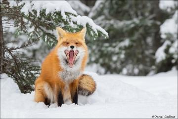 Red_Fox_1524-17