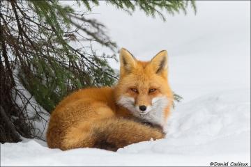 Red_Fox_1640-17