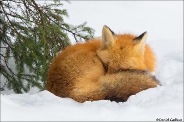 Red_Fox_1676-17