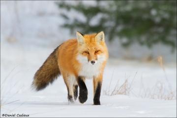 Red_Fox_6091-15