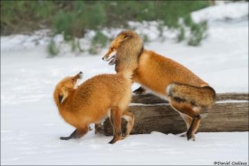 Red_Fox_6151-15
