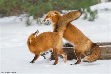Red_Fox_6152-15