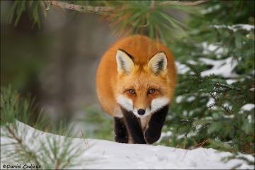 Red_Fox_6289-15