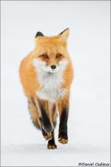 Red_Fox_6625-15