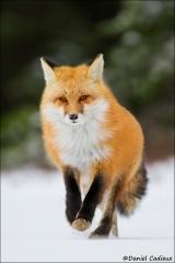 Red_Fox_6667-15