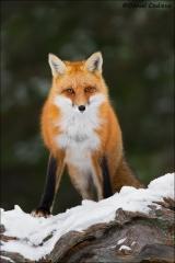 Red_Fox_6790-15