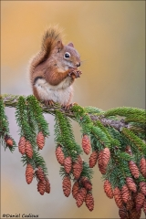 Red Squirrel_8245-17