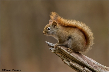 Red_Squirrel_2068-12