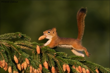 Red_Squirrel_5555-17