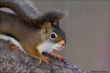 Red_Squirrel_8176-14