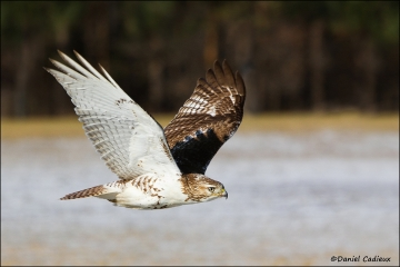 Red-tailed_Hawk_8232-11