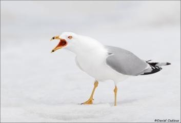 Ring-billed Gull_2589-18