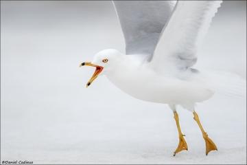 Ring-billed Gull_2906-18