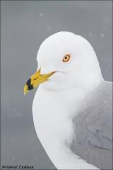 Ring-billed_Gull_3403-14