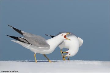 Ring-billed_Gull_4084-17