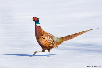 Ring-necked_Pheasant_0576-08