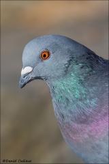 Rock_Dove_1818-12