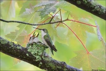 Ruby-throated Hummingbird_2592-18