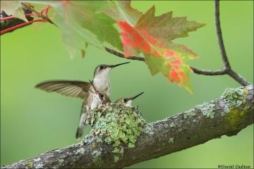 Ruby-throated Hummingbird_3478-18