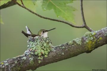 Ruby-throated Hummingbird_6982-18