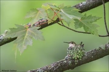 Ruby-throated Hummingbird_7242-18