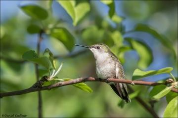 Ruby-throated Hummingbird_9741-18