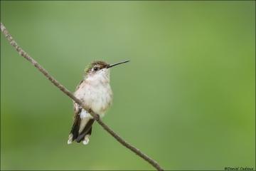 Ruby-throated Hunmmingbird_1195-18