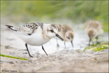 Sanderling_and_Semipalmated_SandpipersIMG_5535-11
