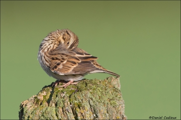 tn_Savannah_Sparrow_0368-1