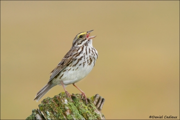 tn_Savannah_Sparrow_8399-1