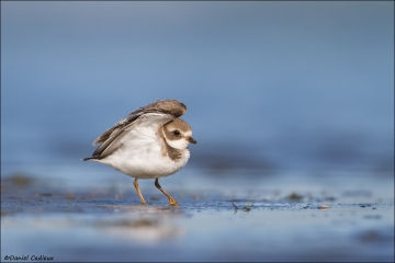 Semipalmated_Plover_0672-15