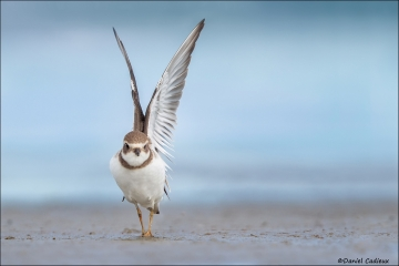 Semipalmated_Plover_1037-15