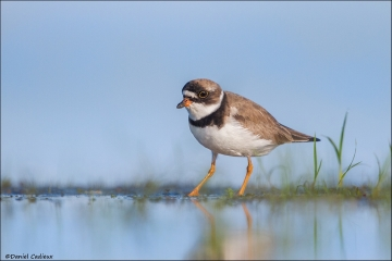 Semipalmated_Plover_2019-15