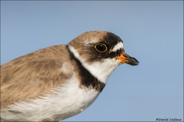 Semipalmated_Plover_2101-15