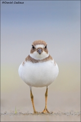 Semipalmated_Plover_2283-13