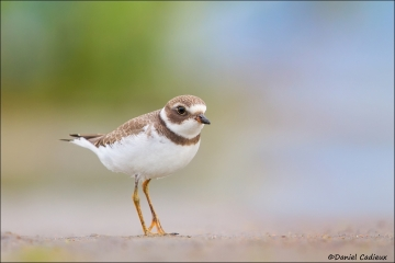 Semipalmated_Plover_2301-13