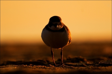 Semipalmated_Plover_2567-16