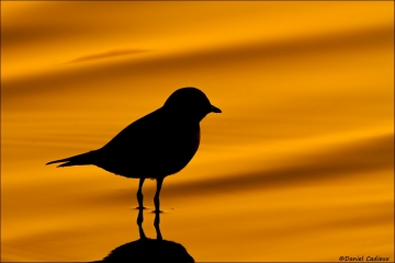 Semipalmated_Plover_3154-15