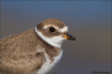 Semipalmated_Plover_3179-13
