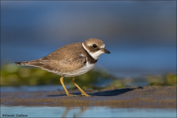 Semipalmated_Plover_3202-13