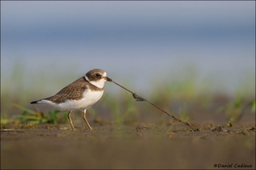 Semipalmated_Plover_3511-12