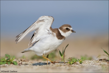 Semipalmated_Plover_3608-12